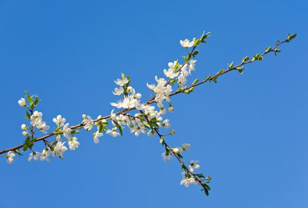 alycha: Blossoming twig of cherry-tree (on blossom tree and sky background) Stock Photo
