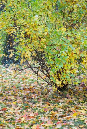 varicoloured: autumn green grass with abscised leafs and varicoloured bush
