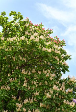 chestnut tree: blossom chestnut tree with white flowers on sky background