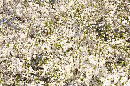 alycha: White blossoming cherry tree (spring background)