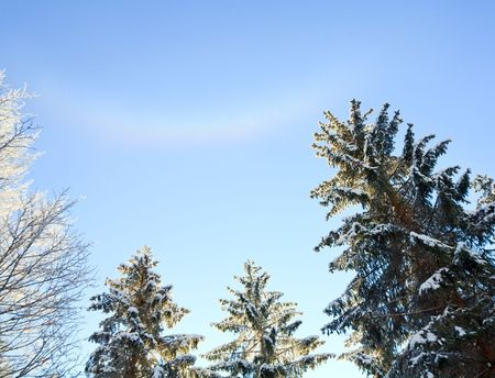 winter tree tops on blue sky with some snowfall background and rainbow in snow dust photo