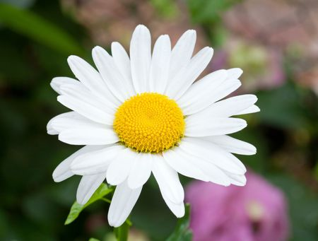 neatness: White daisy flower on flowerbed background