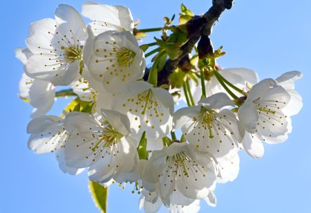 neatness: Blossoming twig of cherry-tree (macro, on blue sky background)