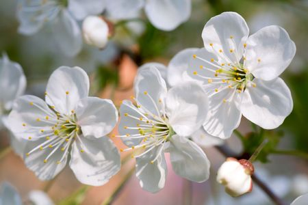 cherrytree: Blossoming twig of cherry-tree (macro, on blossom tree background) Stock Photo