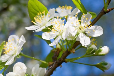 cherrytree: Blossoming twig of cherry-tree (macro, on blossom tree and sky background)
