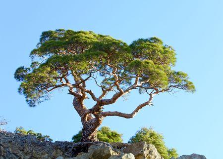 rocky mountain juniper: juniper tree on rock on sky background (Novyj Svit reserve, Crimea, Ukraine). Stock Photo