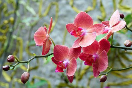 beautiful pink-orange orchid flowers (macro)