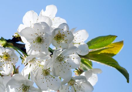 cherrytree: Blossoming twig of cherry-tree (macro, on blue sky background)