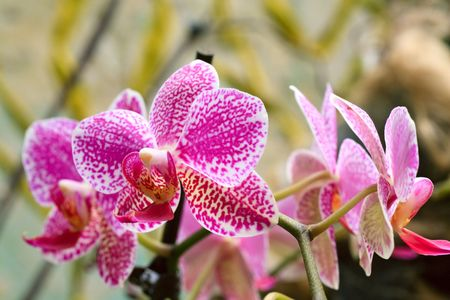 blotchy: beautiful magenta-white  blotchy orchid flowers cluster  (macro)