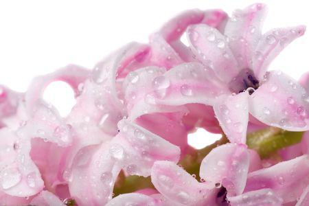hyacinthus: Spring holiday pink hyacinthus flowers background ( macro, isolated on white background) Stock Photo