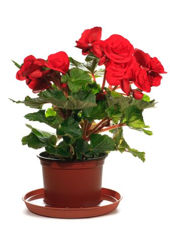 Home plant begonia in flowerpot isolated on white background.  Three shots composite photo with considerable depth of sharpness. photo