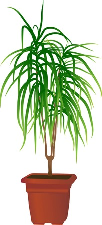 Home plant Dracaena marginata(vector illustration) Çizim