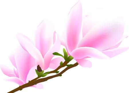 꽃이 만발한: Blossoming twig of magnolia-tree (vector illustration)
