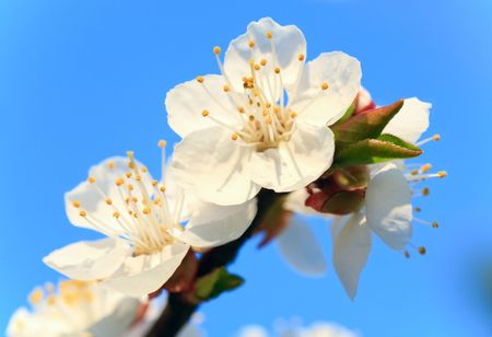 cherrytree: Blossoming twig of cherry-tree on blue sky background