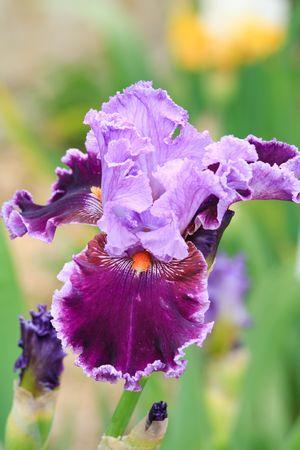 beautiful magenta iris flower (macro)