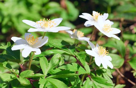 considerable: spring forest glade with blossoming white anemone flowers. Composite photo with considerable depth of sharpness. Stock Photo