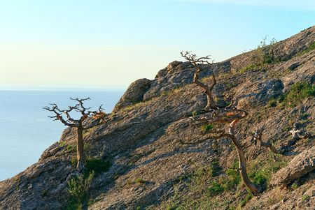juniper tree: withered juniper tree on mountainside (