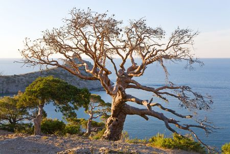 juniper tree: withered juniper tree and evening  Stock Photo