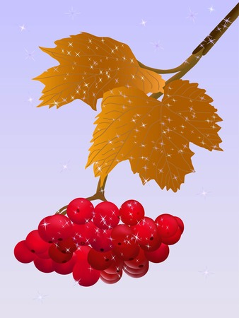 흰 서리: winter viburnum twig with red berries and hoarfrost