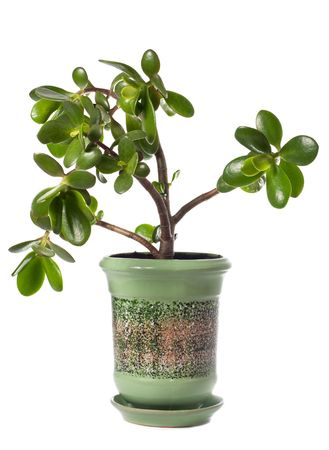 jade plant: Potted home plant Crassula (jade) isolated on white. This plant is known to be a great wealth luck feng-shui symbol (or dollar tree)