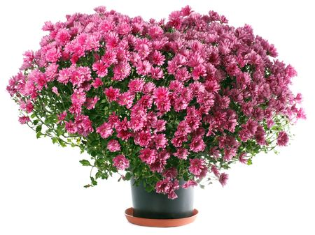 Potted magenta chrysanthemums bush in heart shape (isolated on white background)