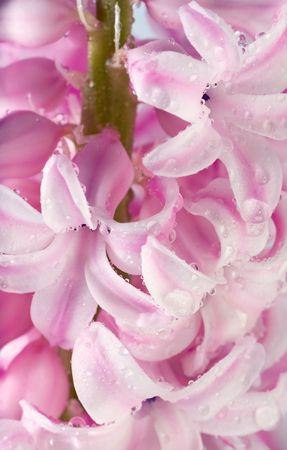 hyacinthus: Primavera vacaciones Rosa hyacinthus flores fondo (macro)