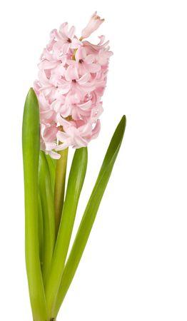 hyacinthus: Vacaciones de primavera Rosa hyacinthus flores aislados sobre fondo blanco  Foto de archivo