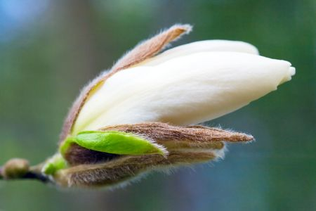Big flower buds of magnolia-tree (on dark green background) photo