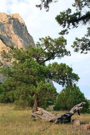 rocky mountain juniper: rock with conifer trees on blue sky background (Sokol rock, Novyj Svit reserve, Crimea, Ukraine).