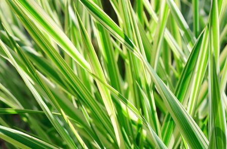 carex: Spring striped green grass  Carex (nature background) Stock Photo