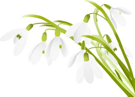 Spring snowdrop flowers background (vector illustration)