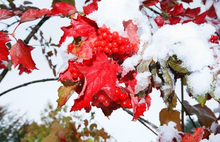 First autumn snow on viburnum bush with red berryes bunchs.