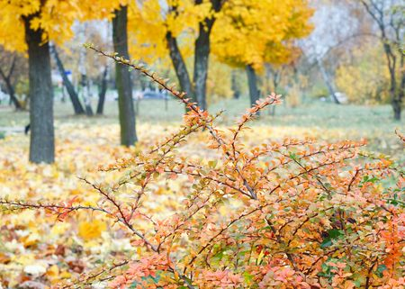 Golden autumn city park  (with big yellow maple tree on front) photo