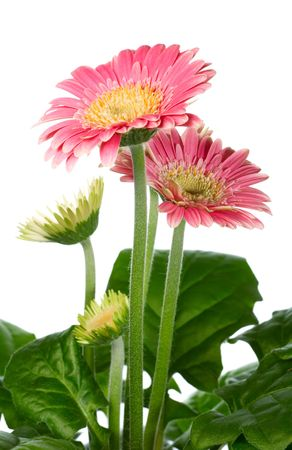 considerable: A pot of beautiful pink gerbera flowers isolated on white background. Composite macro photo with considerable depth of sharpness.