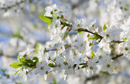 alycha: white blossoming twig of China cherry tree (macro)