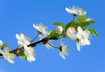 alycha: Blossoming twig of cherry-tree on blue sky background
