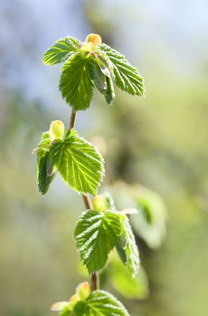 Spring twig of hornbeam with green leaf (close-up) on forest background photo