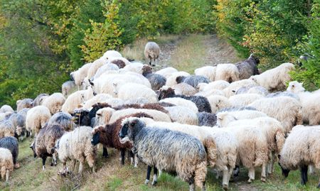 Sheep herd on mountain country road (Carpathian mountain, Ukraine). photo