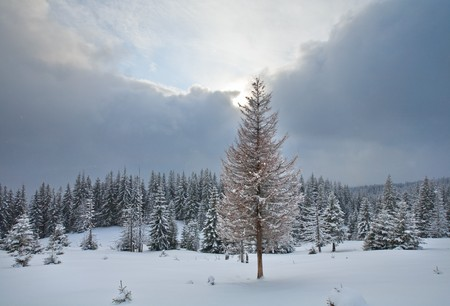 Nasty weather winter evening  mountain landscape with fir trees  on slope (Carpathian Mountains, Ukraine) Stock Photo - 6988680