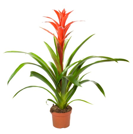 Bromeliad plant in flowerpot isolated on white background . Two shots stitch image.  photo