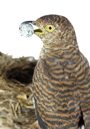 cuckoo: brown cuckoo with quail egg near nest (isolated on white) Stock Photo