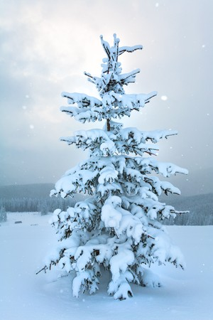 winter calm mountain landscape with snowfall ang beautiful fir trees  on slope (Kukol Mount, Carpathian Mountains, Ukraine) Stock Photo - 7271123