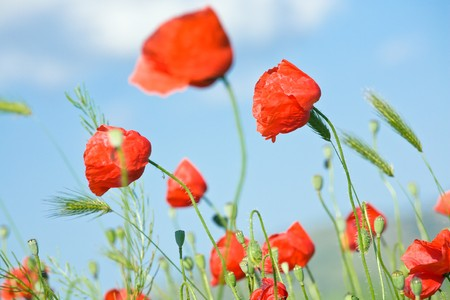 Summer beautiful red poppy flowers and green corn plant on blue sky background. Stock Photo - 7271128