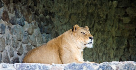 prominence: amicable pacific lioness on stony prominence