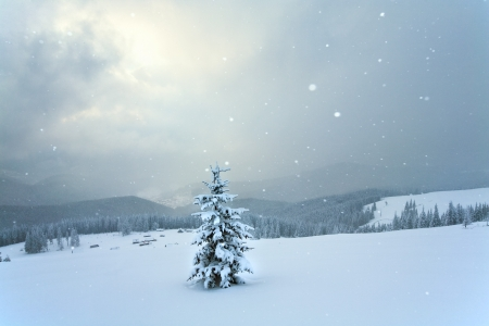 winter calm mountain landscape with snowfall and beautiful fir trees  on slope (Kukol Mount, Carpathian Mountains, Ukraine)