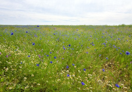 Beautiful summer field with white daisy and blue knapweed flowers. photo