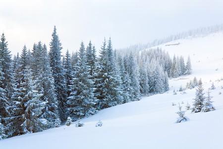 winter calm dull mountain landscape with fir trees  on slope (Kukol Mount, Carpathian Mountains, Ukraine) Standard-Bild