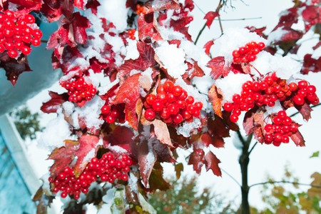 First autumn snow on viburnum bush with red berryes bunchs. Stock Photo - 7553562