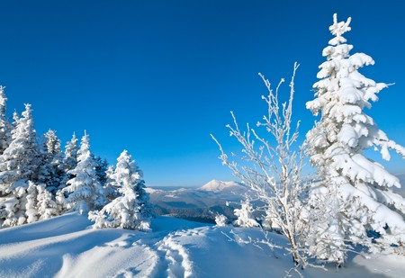 escarcha de invierno y la nieve cubren abetos en la ladera de la montaña (Montes Cárpatos, Ucrania)