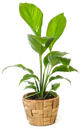 """Window plant """"Spathiphyllum wallisii"""" isolated on white background."""